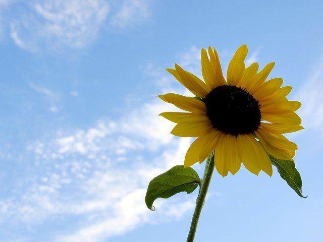 zomer - zonnebloem